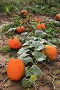 Long line of pumpkins on vines in field ripening still leafy green ready for harvest Royalty Free Stock Photos