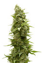 Long Marijuana Bud on Top of Cannabis Plant  by White Background Royalty Free Stock Photo