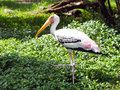 Long mouth white bird walking on grass Royalty Free Stock Images
