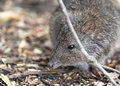 Long nosed potoroo looks like a large rat but is a marsupial and hops like a kangaroo Stock Photography