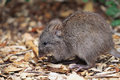Long nosed potoroo potorous tridactylus looks like a large rat but is a marsupial and hops like a kangaroo Royalty Free Stock Photography