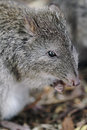 Long nosed potoroo potorous tridactylus looks like a large rat but is a marsupial and hops like a kangaroo Royalty Free Stock Images