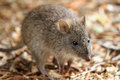 Long nosed potoroo potorous tridactylus looks like a large rat but is a marsupial and hops like a kangaroo Stock Image