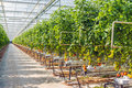 Long path in a large glasshouse with hydroponically grown tomatoes Royalty Free Stock Photo