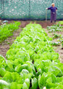 Long rows of green loose leaf lettuce Stock Photos