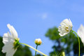 Long stem white flower standout selective focus middle with in foreground bud in center and blue sky background Royalty Free Stock Images
