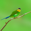 Long tailed broadbilll bird beautifu bee eate broadbill on green background Stock Photo