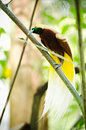 Long Tailed Colorful Bird Royalty Free Stock Photography