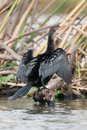 Long-tailed cormorant from behind with wings spread