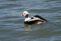 Long-tailed Duck Stock Images