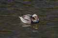 Long tailed duck male swimming on water Stock Photo