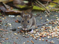 Long tailed field mouse wood mouse a with good camera eye contact showing the distinctive bulging eyes large ears and coloring Royalty Free Stock Photography