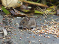 Long tailed field mouse wood mouse a in it s natural surroundings showing the distinctive bulging eyes large ears and coloring Stock Photos