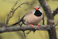 Long-tailed finch Royalty Free Stock Images