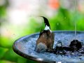 Long tailed finch in bird bath also known as blackheart shaft tail heck s grassfinch heck s grass and heck s cleaning Stock Photography