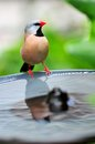Long tailed finch on birdbath also known as blackheart shaft tail heck s grassfinch heck s grass and heck s standing Stock Image