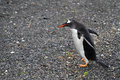 A long tailed gentoo penguin walking on beach of tierra del fuego Stock Photo