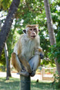 Long tailed macaque Royalty Free Stock Photo