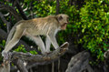 Long-tailed macaque Royalty Free Stock Images