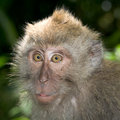 Long tailed macaque Royalty Free Stock Image