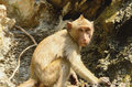 Long tailed macaque macaca fascicularis beautiful on rock hill Royalty Free Stock Photography