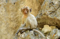 Long tailed macaque macaca fascicularis beautiful on rock hill Royalty Free Stock Photo