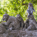 Long tailed macaque macaca fascicularis in sacred monkey forest ubud indonesia Stock Photography