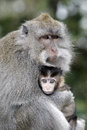 Long tailed macaque macaca fascicularis single female with youngster indonesia march Royalty Free Stock Photo