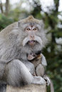 Long tailed macaque macaca fascicularis single female with youngster indonesia march Royalty Free Stock Photography