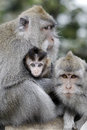 Long tailed macaque macaca fascicularis three monkeys indonesia march Royalty Free Stock Photos