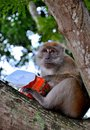 A long tailed macaque monkey on a tree with a box of cup noodles in singapore the macaques pron mé™ëˆké'ë k or Royalty Free Stock Photo