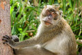 Long tailed macaque staring at me a in the wild posing for poda island thailand Royalty Free Stock Photos