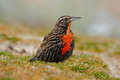 Long-tailed Meadowlark, Sturnella loyca falklandica, Saunders Island, Falkland Islands Royalty Free Stock Photo