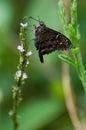 Long tailed skipper on flower in santa cruz island galapagos ecuador Royalty Free Stock Images