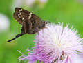 Long tailed skipper urbanus proteus flower Royalty Free Stock Images