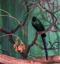 Long tailed starling sitting on a tree branch, beautiful bird with colorful green shiny feathers, tropical bird from africa Royalty Free Stock Photo