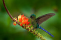 Long-tailed Sylph, Aglaiocercus kingi, rare hummingbird from Colombia, gree-blue bird flying next to beautiful orange flower, acti Royalty Free Stock Photo
