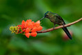 Long tailed sylph aglaiocercus kingi rare hummingbird from colombia gree blue bird sitting on a beautiful orange flower action Stock Photo