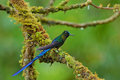 Long tailed sylph hummingbird with long blue tail in the nature habitat peru Royalty Free Stock Photography