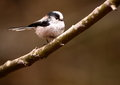 Long Tailed Tit Royalty Free Stock Photography