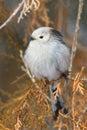 Long tailed tit (Aegithalos caudatus) Stock Photo