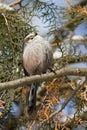 Long tailed tit (Aegithalos caudatus) Royalty Free Stock Image