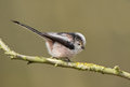 Long tailed tit aegithalos caudatus perched on a branch Royalty Free Stock Photos