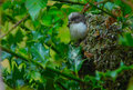 Long tailed tit fledgling aegithalos caudatus emerging from its nest in a holly bush Royalty Free Stock Photos