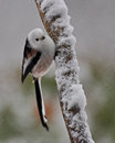 Long tailed tit on a snowy branch Stock Photos