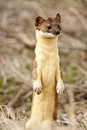 Long tailed weasel looking for lunch in a spring afternoon Stock Photos