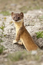 Long tailed weasel looking for lunch in a spring afternoon Royalty Free Stock Photos