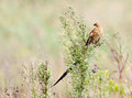 Long tailed widow bird Royalty Free Stock Photo
