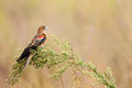 Long tailed widow bird against nice background Royalty Free Stock Photography