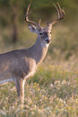 Long tined whitetail buck a beautiful sunlit in vertical photo displaying extra antler tines Royalty Free Stock Image